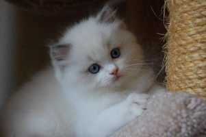Blue Bicolor Ragdoll Kitten from Adorabledolls