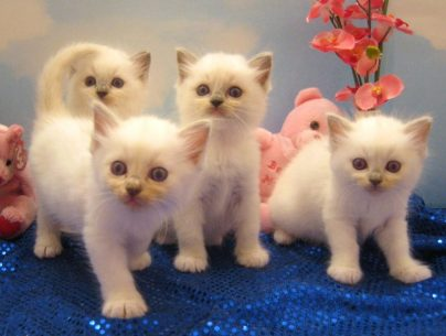 litter of ragdoll kittens